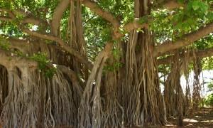 banyan-tree-1049021